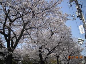 2011_04_10_sakura